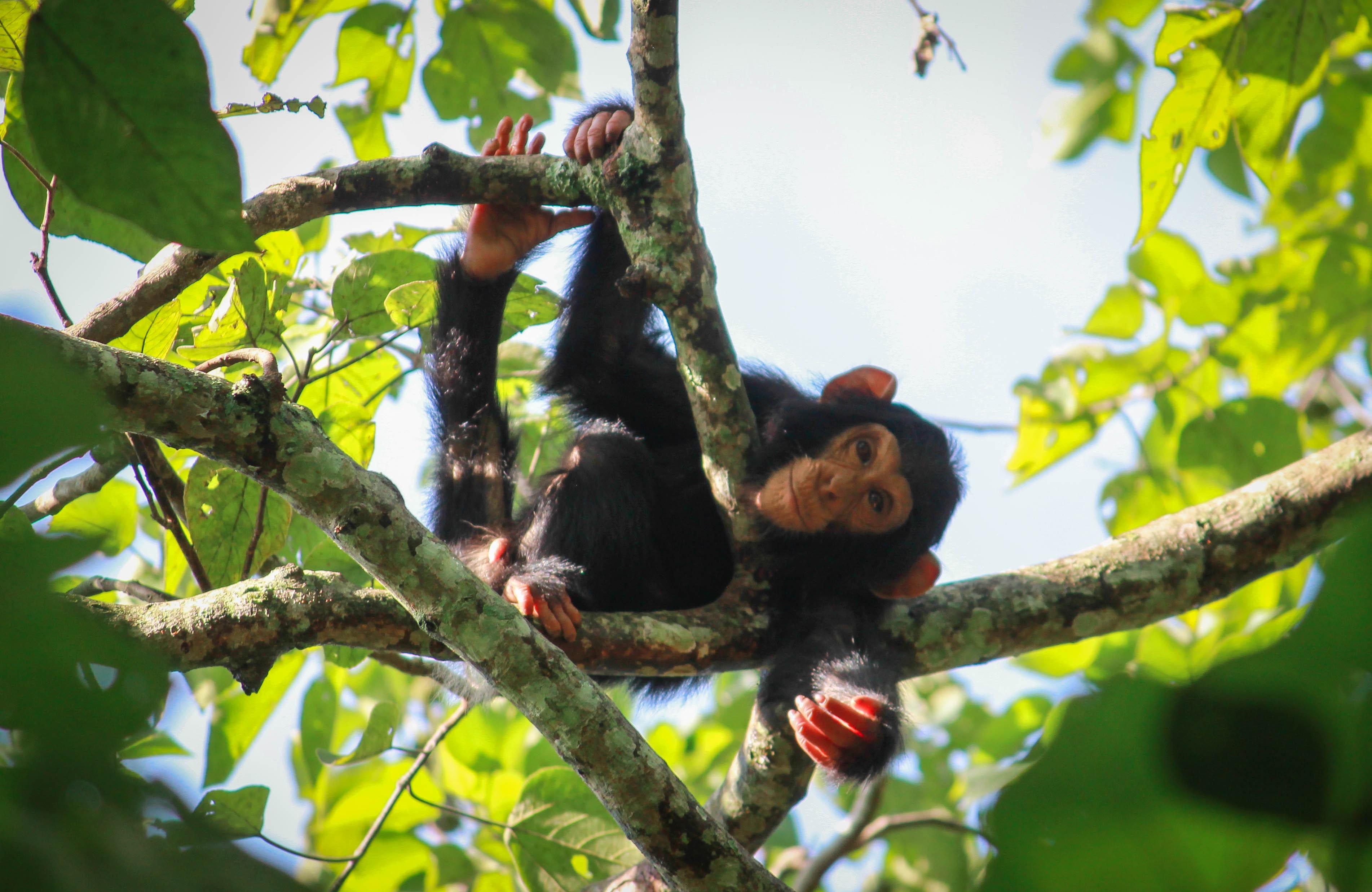 Iris-Chimpanzee baby