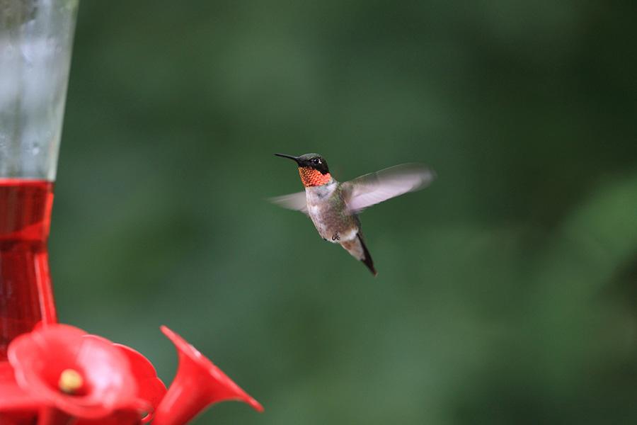 A male Ruby-throated Hummingbird at a feeder.