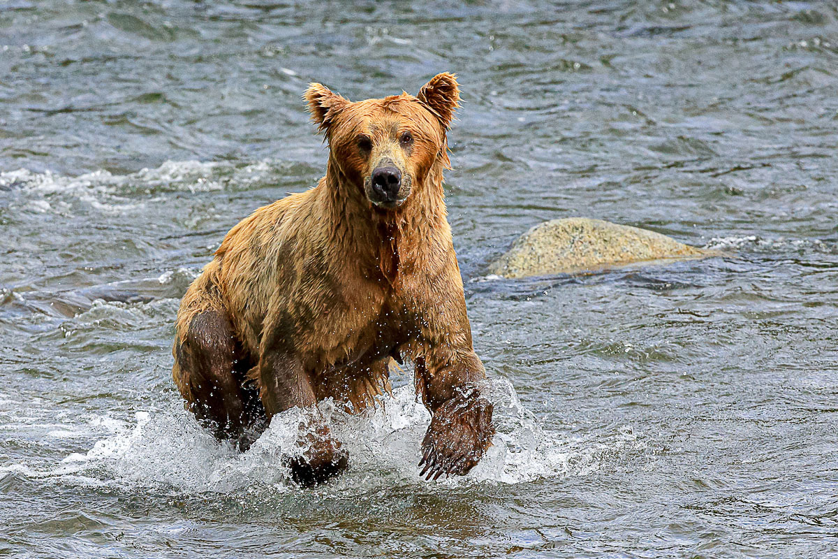 Alaskan Brown bear running in the shallow water of the Brooks Falls River at Katmai National Park