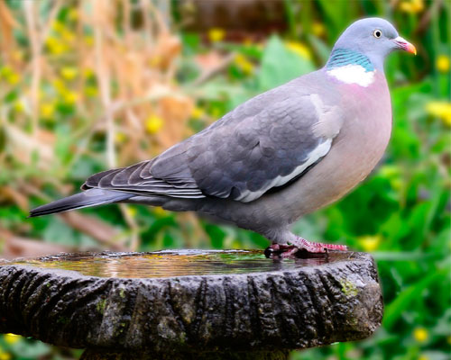 Hawke Life  Top 10 British Garden Birds