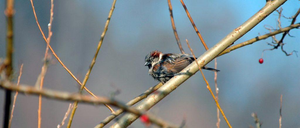 Top ten british garden birds