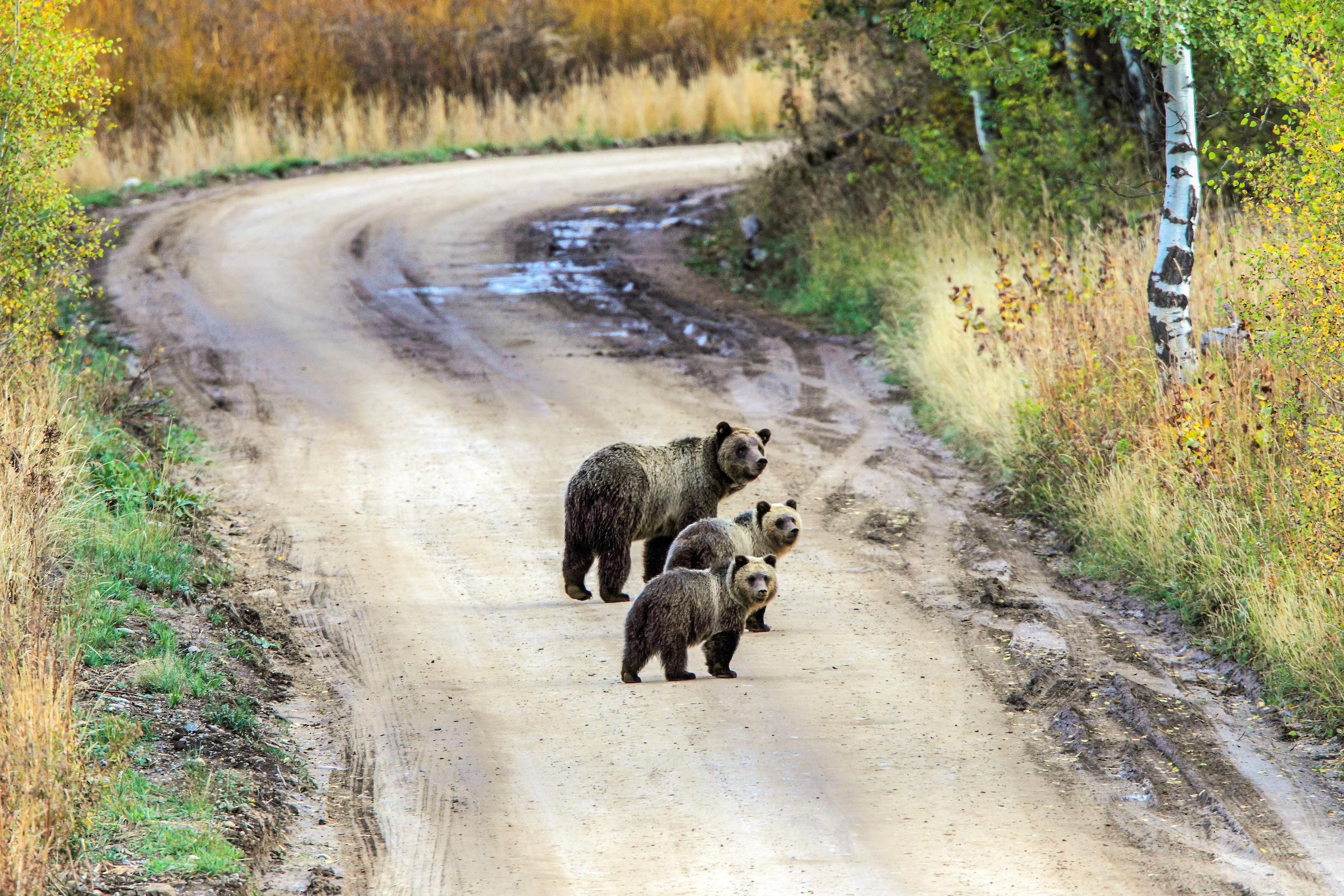 Bears Teton