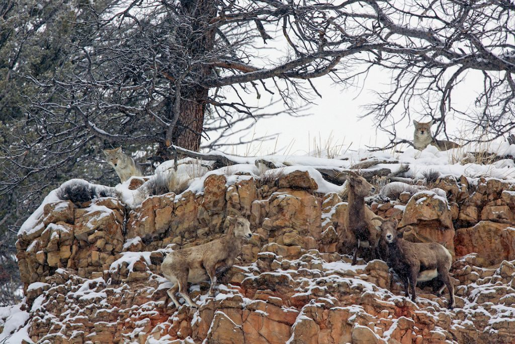 Coyotes attempt to prey on bighorn sheep in the Lamar Valley during winter.