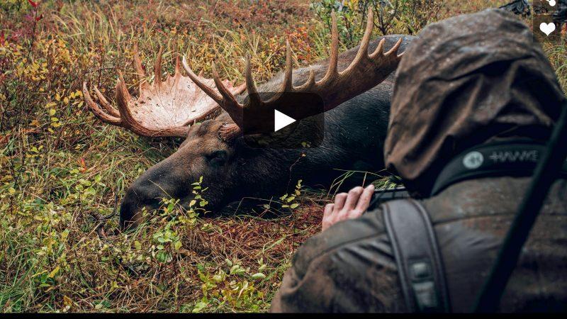 Giant Bull Moose