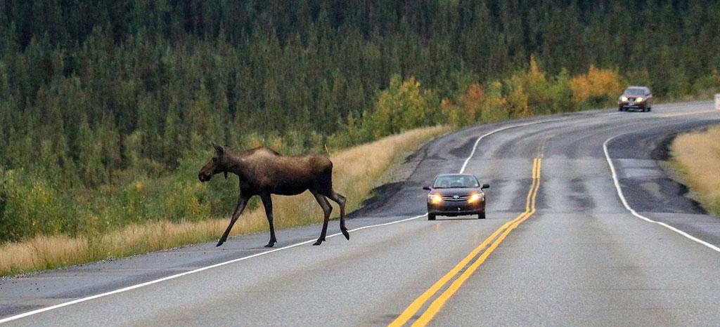 Wildlife of the Alaska Highway