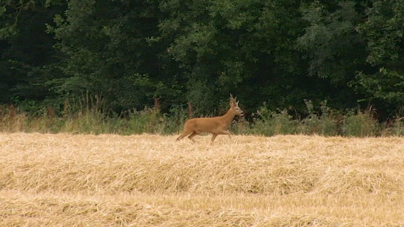 Roebuck Stalking Top Tips