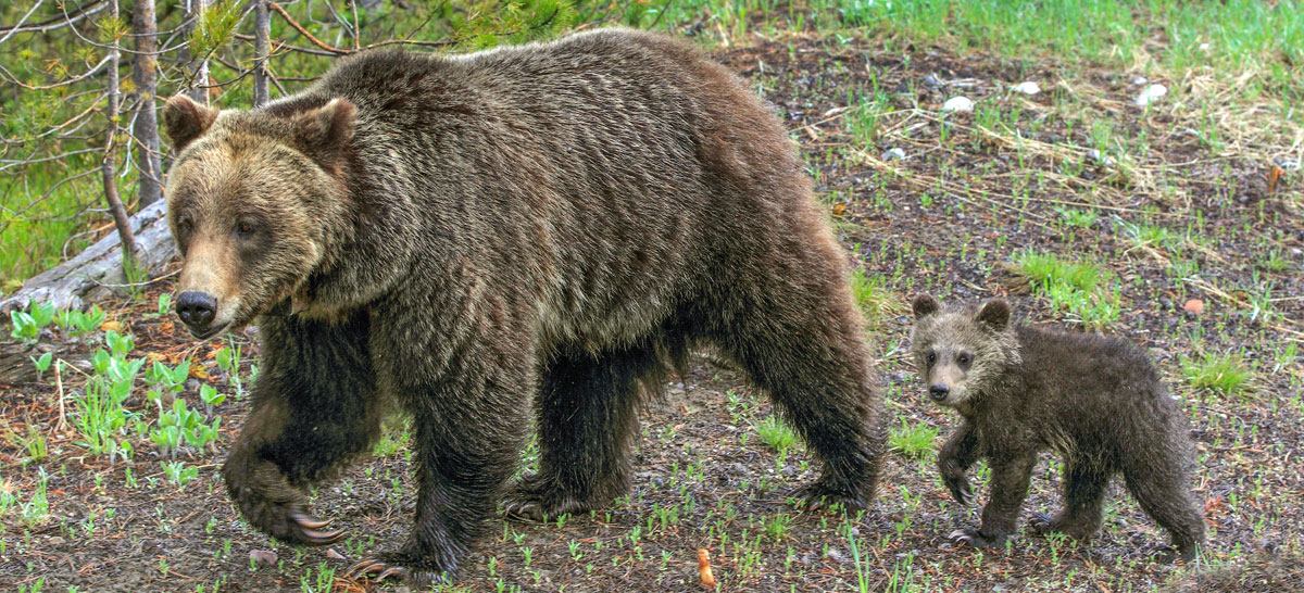 What's in a Name: Mainland Grizzly Bear