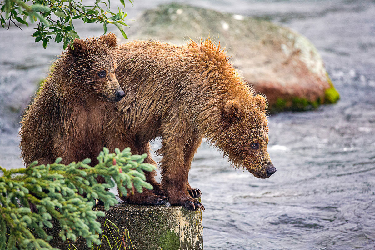 Brwown bears on edge of Brook falls Katmai national park
