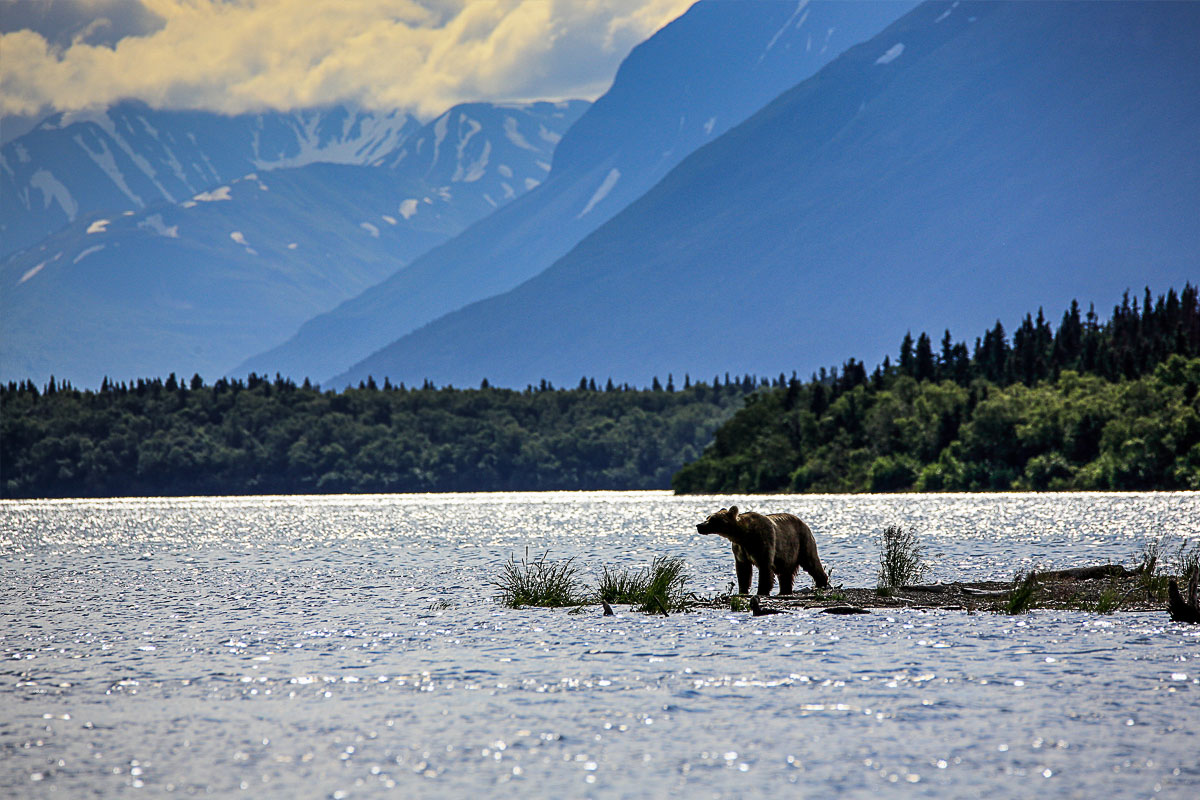 An Alaskan Brown bear at Brooks Falls River at Katmai National Park.