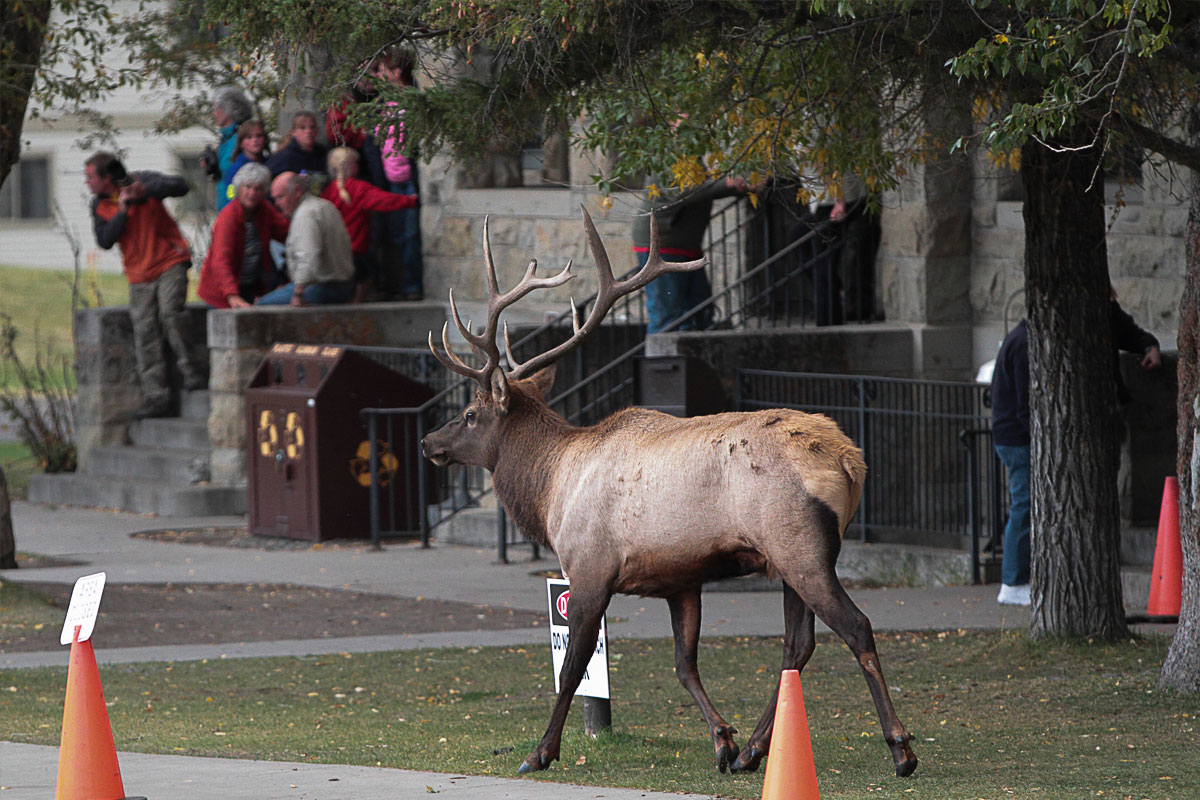 Rocky Mountain Elk arrive on the streets