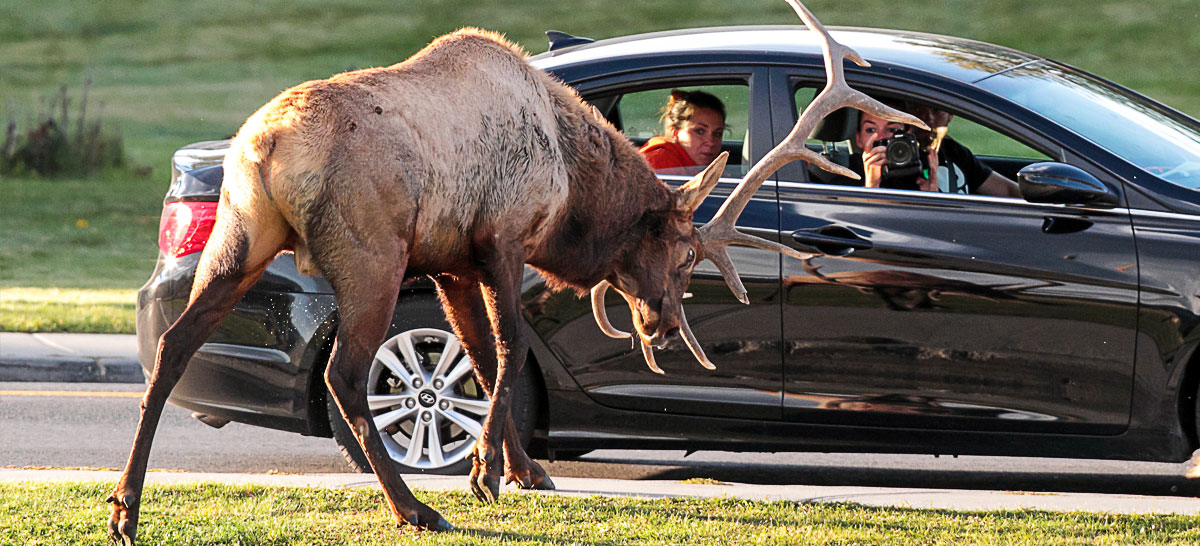 Elk Attacks Yellowstone Visitors