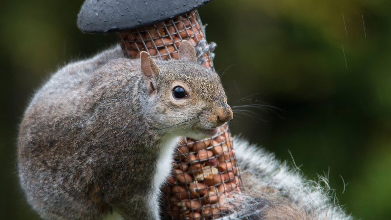 Recipe: Squizzotto – Squirrel Risotto with Wild Garlic