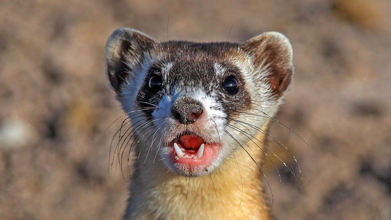 Back from the Dead: The Black-footed Ferret Recovery Story