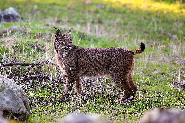 Iberian Lynx © Luis Enrique Serrano // Fauna Salvaje en Acción (Wildlife in Action)
