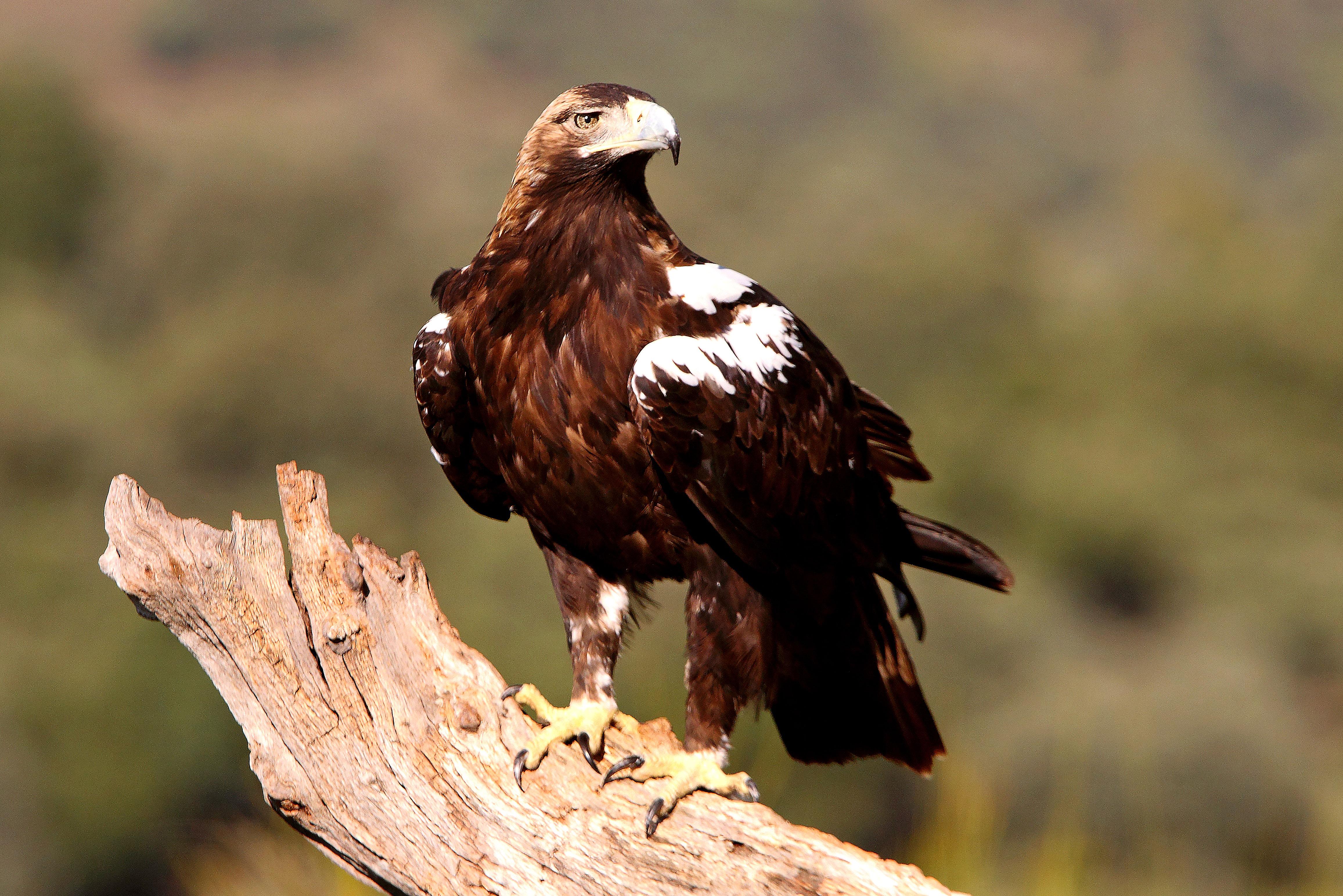 Imperial Eagle © Luis Enrique Serrano // Fauna Salvaje en Acción (Wildlife in Action)